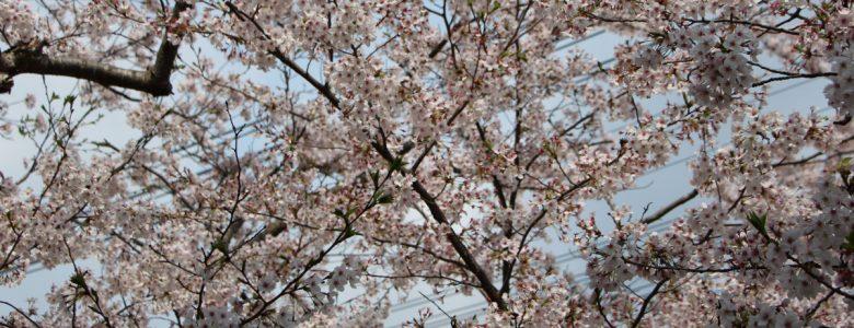 スライド1:sakura